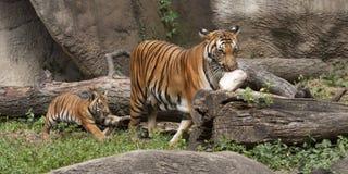 Tiger Mom och gröngöling med mat Arkivbild