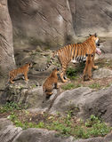 Tiger Mom  with Three Cubs Royalty Free Stock Image