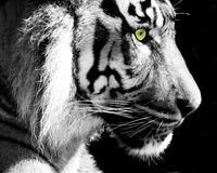 Tiger - Monochrome with green eye Royalty Free Stock Photo