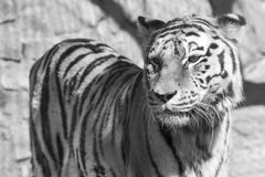 Tiger monochrome tone closeup stand and looks Royalty Free Stock Image