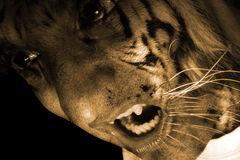 Tiger Monster. A portrait of a tiger monster / werewolf, snarling angrily Royalty Free Stock Photography