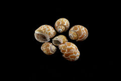 Tiger Moon Sea Shells Arkivbilder