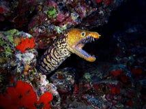 Tiger Moray Royaltyfri Fotografi