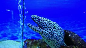 Tiger moray eel stock video footage