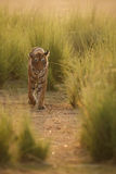 Tiger in the morning light Stock Images