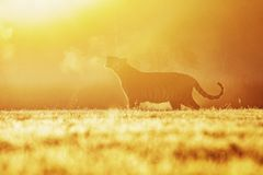 A tiger in the morning sun on a meadow. Silhouette of the Siberian tiger in the sun. Action wildlife scene, danger animal. stock photos