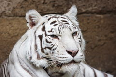 Tiger in Moscow zoo. Russian Federation Stock Images