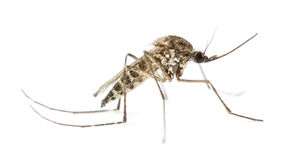 Tiger mosquito Stock Photography