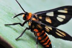 Tiger Moth. A macro shot taken off a Tiger Moth at a garden royalty free stock photos