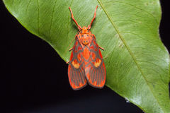 Tiger moth (Barsine cuneonotatus) Stock Photo
