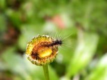 Tiger Moth Caterpillar 1 Arkivbilder