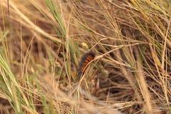 Tiger moth caterpillar Arctia caja Stock Images
