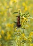 Tiger moth caterpillar Arctia caja Stock Photos