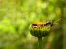 Tiger Moth Caterpillar 3 Stock Photos