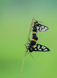 Tiger Moth-het koppelen in de vroege ochtend stock fotografie