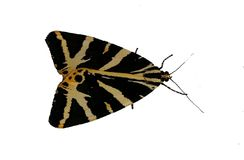 Tiger Moth Insect Bug Photograph. A close up photograph of a tiger moth isolated on a white background. This black and yellow striped insect was sitting on a stock photos