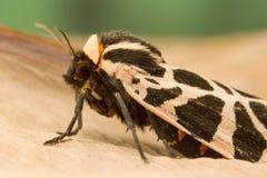 Tiger Moth méditerranéen Images stock