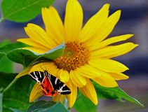 Tiger Moth mit Flügeln verlängerte das Zeigen von schönen bunten Unterflügeln Lizenzfreies Stockbild