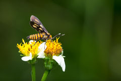 Tiger Moth Pollination Stock Photo