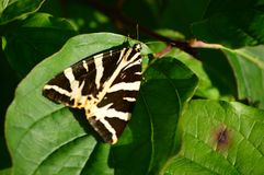 Jersey Tiger Moth at rest in the sun Royalty Free Stock Photo
