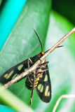 Tiger Moth's Underside. A photo taken on a Tiger Moth clinching onto a twig Stock Images