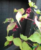 Tiger Moth sulla pianta del gamberetto Fotografia Stock Libera da Diritti