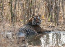 Tiger Mother and cub drinking water at Tadoba Tiger reserve Maharashtra,India. Asia stock photo