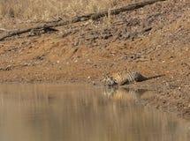 Tiger Mother and cub drinking water at Tadoba Tiger reserve Maharashtra,India. Asia stock image