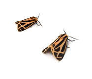 Tiger Moths Stock Photo