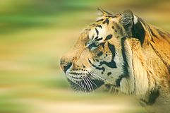 Tiger motion. Tiger head side view with motion blur Royalty Free Stock Image