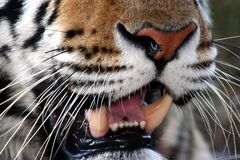 Tiger mouth Stock Image