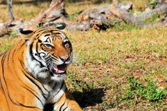 Tiger With Mouth Open Royalty Free Stock Image