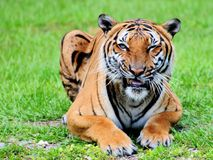 Tiger mouth open Stock Images