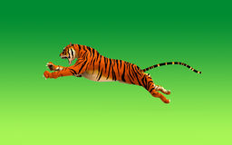 A tiger moving and jumping Stock Images