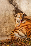 Tiger mum Stock Photography