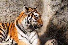 Tiger mum Stock Photo