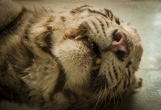 Tiger muzzle. Formidable teeth of a sleeping tiger Royalty Free Stock Photos