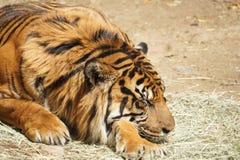 Tiger Nap Stock Photos