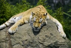 Tiger nap Royalty Free Stock Photos