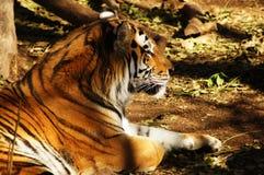 Tiger Nap. A profile of a Sumatran Tiger having a cat nap in the shade Stock Image