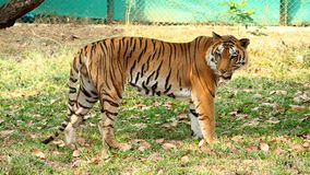 Tiger in National Zoo India. An Adult Tiger Standing on National animal zoo in india Royalty Free Stock Photos