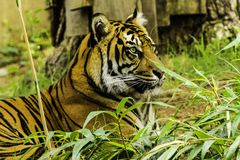 Tiger at National Zoo Stock Photos