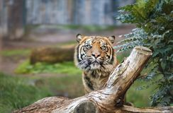 A tiger in a natural park. Which proposes its natural environment Royalty Free Stock Photography