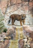A tiger in a natural park. Which proposes its natural environment Stock Images