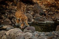 Tiger in the nature habitat. Tiger female in the water. Tiger in the nature habitat. Tiger male walking head on composition. Wildlife scene with danger animal Stock Images