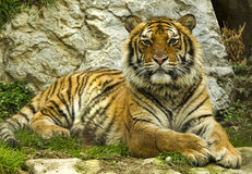 Tiger in nature Stock Image