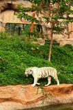 A tiger in a nature at the zoo Royalty Free Stock Images