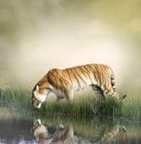 Tiger Near Pond Photos stock