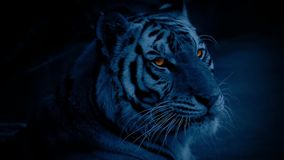 Tiger At Night With Glowing-Ogen stock videobeelden