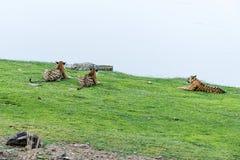 Tiger observera krokodilen Royaltyfri Bild